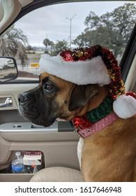 Mastiff Boxer dogs smile Christmas holiday