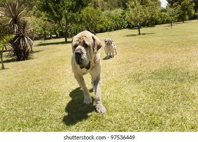 A mastiff and a bulldog . Outdoors shot. Sunny day.