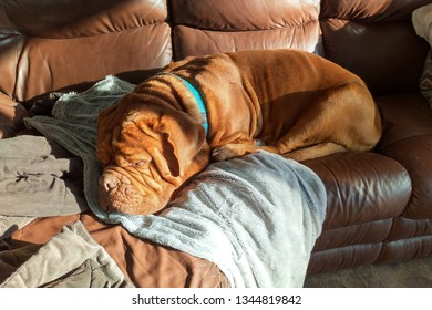 mastiff dog sleeping on sofa