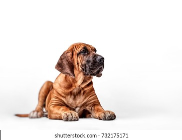 Mastiff Puppy. Brazilian Mastiff also known as Fila Brasileiro. Puppy on white background