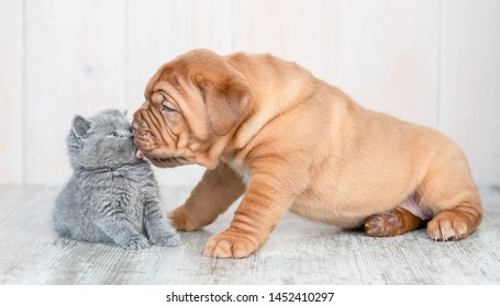 Mastiff puppy licking kitten on the floor at home