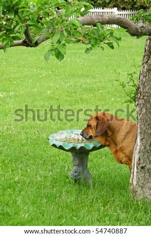 Mastiff Rottweiler Mix Drinking Birdbath Stock Photo Edit Now