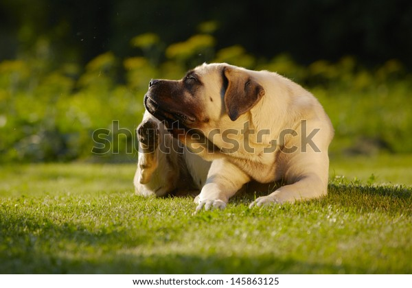 Mastiff is scratching behind his ear - copy space