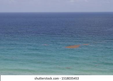 Mat of free floating algae or seaweed called sargassum in carribean ocean close to tulum and playa del carmen.
