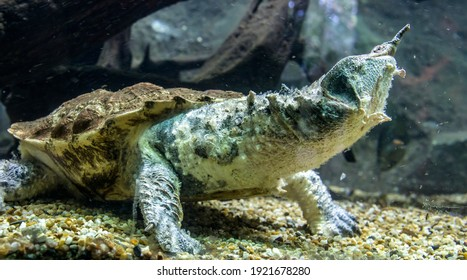 The mata mata is a freshwater turtle found in Wetlands South America, primarily in the Amazon.  a large, sedentary turtle with a large, triangular, flattened head with many tubercles and flaps of skin
