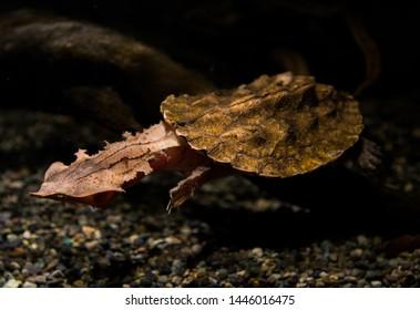 A mata mata turtle in aquarium