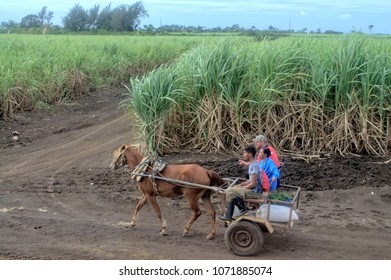 MATANZAS, CUBA - January 4, 2018: Cuban farmers riding a horse-drawn carriage, in the fields of sugar cane cultivation.