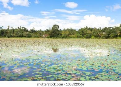 Matara Lake, Sri Lanka, Asia - Tousands of water lilies on a lake near Matara