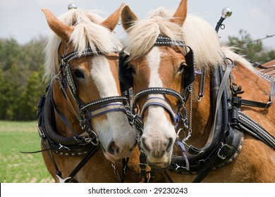 A matched pair of draft horses ready to plow a field