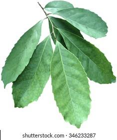 Mate shrub; Ilex paraguariensis