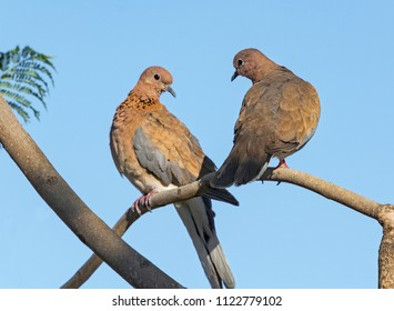 mated pair of laughing doves perched in a jacaranda tree against a clear blue sky