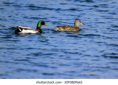 Mated pair of Mallard ducks swims in spring in the lagoon at Dead Horse Ranch State Park near Cottonwood Arizona