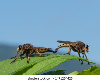 A mated pair of red-footed cannibal flies (Promachus rufipes) rest on top of a leaf