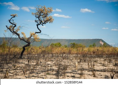 Mateiros, Tocantins, Brazil: Drought-burnt tree in Jalapao National Park lands, and large mountain in the background during sunny day