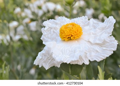 Matilija poppy, Romneya, flower, in nature in California