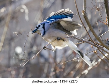Mating blue jay in early morning sunlight.
