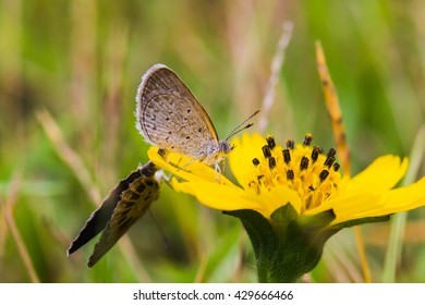 Mating Butterflies On Grass Flower with Green Background