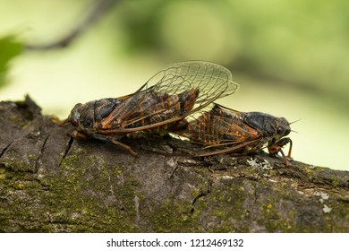 Mating cicadas on the oak branch