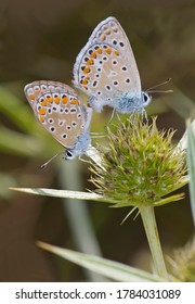 Mating of Common Blue Butterfly, Polyommatus icarus.