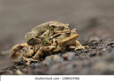 mating Common toads  on the ground, European toad in the natural environment. Bufo bufo. Wildlife in Czech.