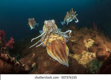 Mating Cuttlefish sex fish