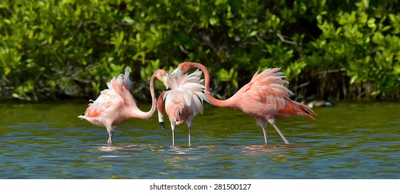 Mating dance  Caribbean flamingos ( Phoenicopterus ruber ruber ) on pond in Cuba.