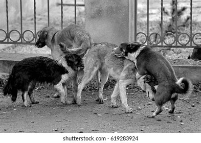 Mating of dogs. A black and white grainy image shot on film. Mat