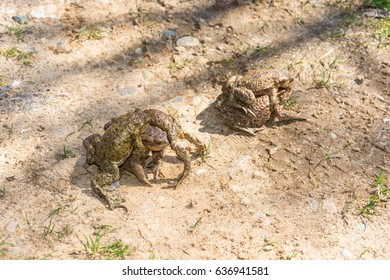 Mating frogs on the ground in the warm spring Sunny day.