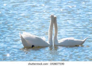 Mating games of a pair of white swans. Swans swimming on the water in nature. Valentine's Day background. The mute swan, latin name Cygnus olor.