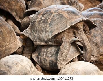 Mating giant tortoises (Megalochelys gigantea).
