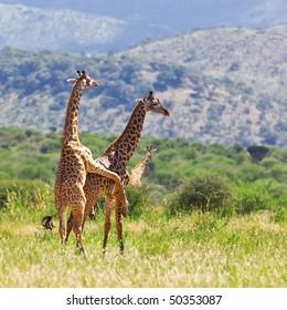 Mating giraffes (Giraffa camelopardalis) in Tarangire National Park, Tanzania