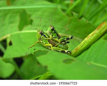 Mating grasshopper on the grass