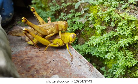 Mating of Grasshoppers - Grasshopper breeds sexually, namely the distribution of sperm of male grasshopper into the female body.