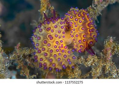 Mating Janolus nudibranch