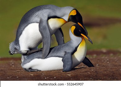 Mating king penguins with green background, Falkland Islands. Wildlife scene from wild nature. Funny image from Antarctica. Penguin love in the grass.