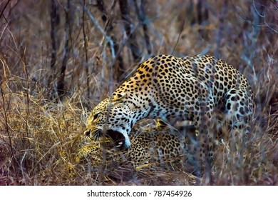 Mating Leopards in African bush