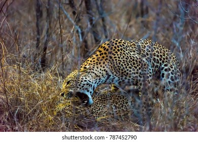 Mating leopards in bush