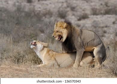 Mating lion