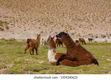 Mating Llama (Lama glama) a High Altitude Domestic Camelid from The Andes in South America