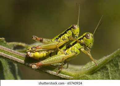 """Mating meadow grasshoppers """"Chorthippus parallelus""""."""