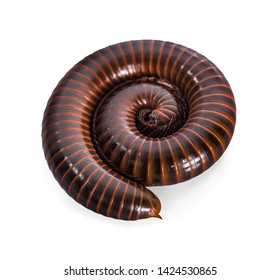 Mating millipede,millipede walking on ground in the rainy season of Thailand