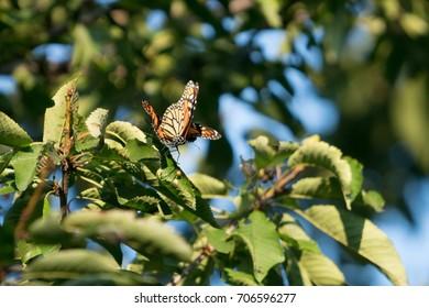 Mating Monarch Butterflies. Photo taken August 15th, 2017 in a Toronto area garden.