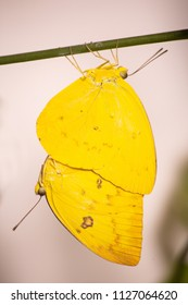 Mating orange emigrant butterflies, Catopsilia scylla, on a stick on grey neutral background. A male butterfly is hanging below a female one, both in bright yellow color