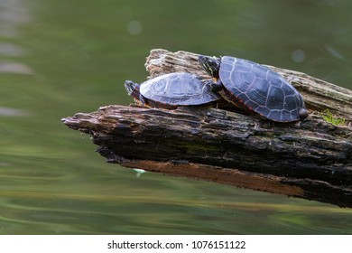 mating painted turtle