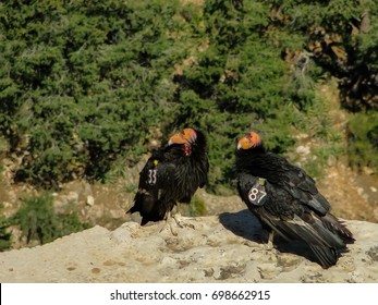A Mating Pair of Critically-Endangered California Condors with Radio Transmitters Sits on a Rock Ledge in Grand Canyon National Park, Arizona, United States of America