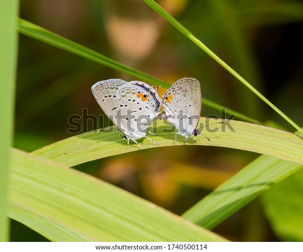Mating pair of Eastern Tailed-Blue butterflies in Southwestern Ohio