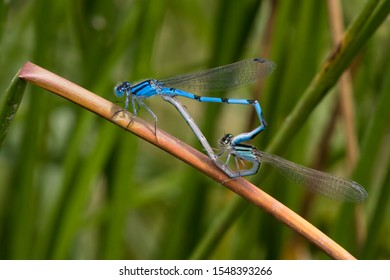 A mating pair of Familiar Bluets perching on a reed stalk