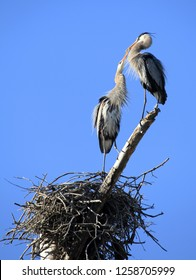 "Mating Pair of Great Blue Heron on the Nest ""Kissing"" or Conducting a Mating  Ritual"