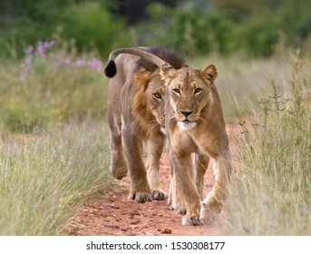 A mating pair of lion will stay in close contact during a 4 or 5 day period which involves lots of frequent copulating but with a low fertilization rate.