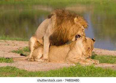 A mating pair of lions in golden light